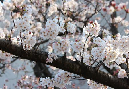 入学式まであと5日~キャンパスの桜情報~